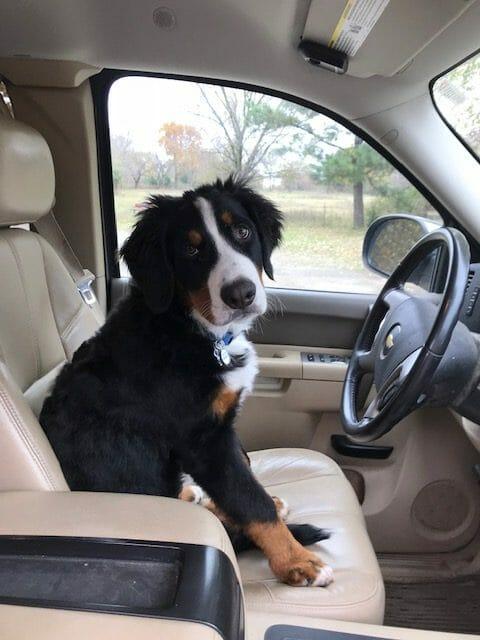 Bernese mountain dog driving a truck